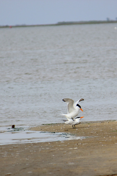 An intimate look at two Royal Terns.  ~LS