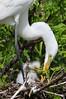 Fuzzy wuzzy baby egrets!  ~LS
