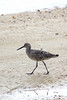 A Willet goes a' wanderin'.  ~LS