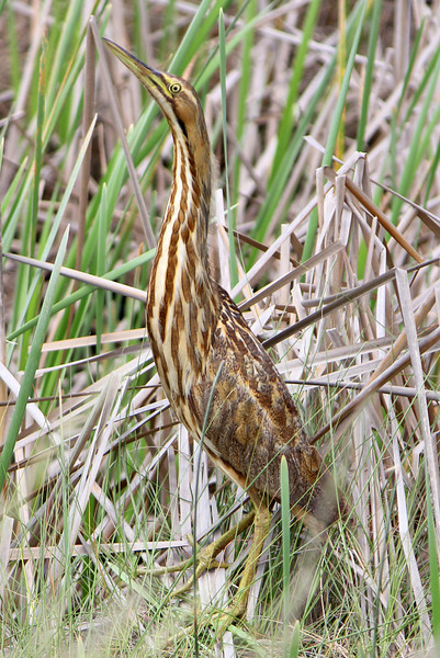 This American Bittern was such a cooperative bird, to my camera's utter joy :)  ~LS