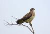 Swainson's Hawk   ~LS