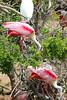 Roseate Spoonbills ~LS