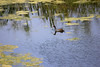 Common Gallinule swims through a Monet-like scene.  ~LS
