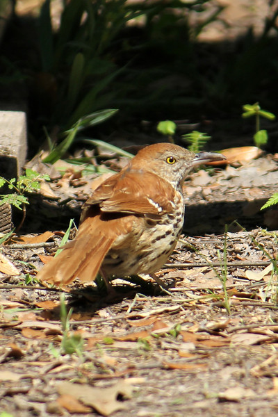 A content Brown Thrasher in the sun.  ~LS