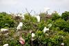 Great Egrets   ~LS