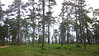 The beautiful, native loblolly pines of Jones State Forest where we saw one of our great target birds, the Red-cockaded Woodpecker. ~LS