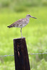 Willet on a post   ~LS