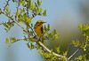"Prairie Warbler<div id=""caption_tourlink"" align=""right""> [photo © participant Dave Chantler]</div>"