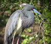 """Tricolored Heron<div id=""""caption_tourlink"""" align=""""right""""> [photo © guide John Coons]</div>"""