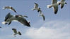 """Laughing Gulls<div id=""""caption_tourlink"""" align=""""right""""> [photo © guide Bret Whitney]</div>"""