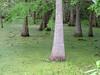 "Bald Cypress<div id=""caption_tourlink"" align=""right""> [photo © participant Peter Heilbroner]</div>"