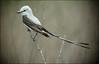 "Scissor-tailed Flycatcher<div id=""caption_tourlink"" align=""right""> [photo © guide Bret Whitney]</div>"