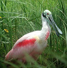 """Roseate Spoonbill<div id=""""caption_tourlink"""" align=""""right""""> [photo © guide Bret Whitney]</div>"""