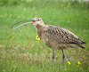 """Long-billed Curlew<div id=""""caption_tourlink"""" align=""""right""""> [photo © guide Bret Whitney]</div>"""