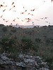 """Mexican Free-tailed Bats at Rio Frio bat cave. <div id=""""caption_tourlink"""" align=""""right""""> [photo © participant Janis LaPointe]</div>"""