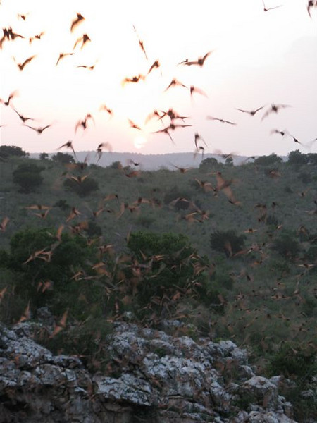 "Mexican Free-tailed Bats at Rio Frio bat cave. <div id=""caption_tourlink"" align=""right""> [photo © participant Janis LaPointe]</div>"