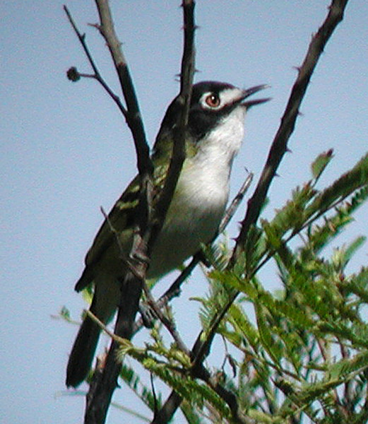 "One of the real specialties of this tour is the Black-capped Vireo. This endangered species has its world headquarters in the Texas Hill Country. <div id=""caption_tourlink"" align=""right""> [photo © guide Jan Pierson]</div>"