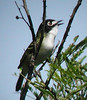 """One of the real specialties of this tour is the Black-capped Vireo. This endangered species has its world headquarters in the Texas Hill Country. <div id=""""caption_tourlink"""" align=""""right""""> [photo © guide Jan Pierson]</div>"""