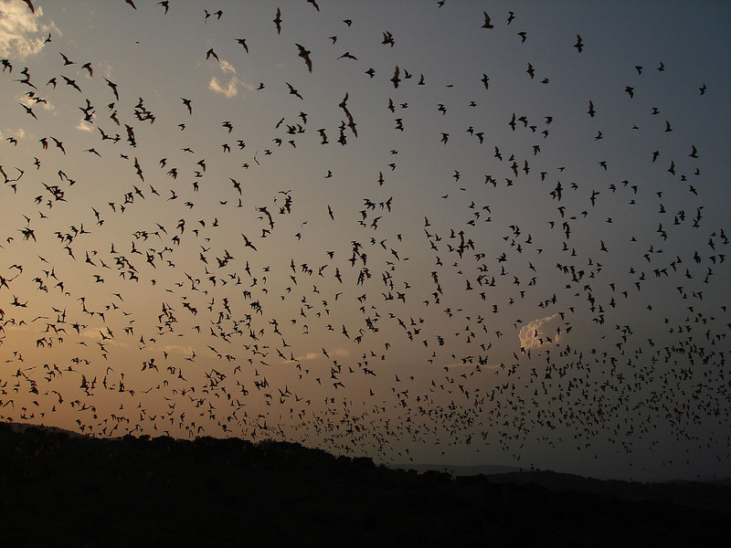 "Mexican Free-tailed Bats at Rio Frio bat cave <div id=""caption_tourlink"" align=""right""> [photo © guide John Rowlett]</div>"