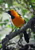 """A male Hooded Oriole of the bright eastern population, the one found in Texas. <div id=""""caption_tourlink"""" align=""""right""""> [photo © guide Jan Pierson]</div>"""