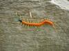 """Giant Centipede <div id=""""caption_tourlink"""" align=""""right""""> [photo © guide John Rowlett]</div>"""