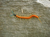 "Giant Centipede <div id=""caption_tourlink"" align=""right""> [photo © guide John Rowlett]</div>"