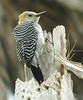 """The Golden-fronted Woodpecker on the other hand, is an expected daily occurrence in most of southern Texas. <div id=""""caption_tourlink"""" align=""""right""""> [photo © guide Jan Pierson]</div>"""