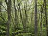 "Spring woods<div id=""caption_tourlink"" align=""right"">[photo © guide Bret Whitney]</div>"