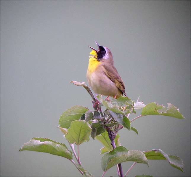 "Common Yellowthroat male<div id=""caption_tourlink"" align=""right"">[photo © guide Bret Whitney]</div>"