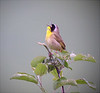 """Common Yellowthroat male<div id=""""caption_tourlink"""" align=""""right"""">[photo © guide Bret Whitney]</div>"""
