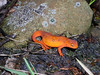 """The red eft stage of the Red-spotted Newt, this is the terrestrial stage.<div id=""""caption_tourlink"""" align=""""right"""">[photo © guide Bret Whitney]</div>"""