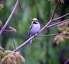 "Golden-winged Warbler male<div id=""caption_tourlink"" align=""right"">[photo © guide Bret Whitney]</div>"