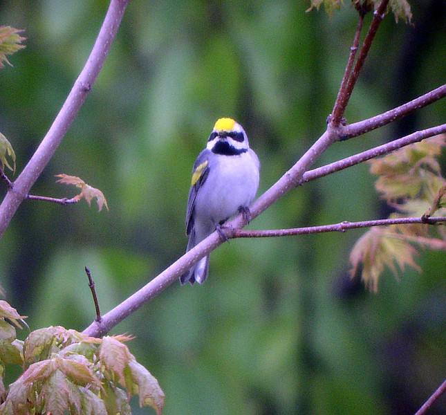 "Golden-winged Warbler male<div id=""caption_tourlink"" align=""right"">[photo © guide Bret Whitney]</div>"