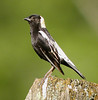 "Bobolink male <div id=""caption_tourlink"" align=""right"">[photo © guide John Rowlett]</div>"