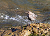 American Dipper, by participant Sally Palmer