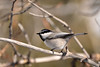 Mountain Chickadee, by participant Sally Palmer