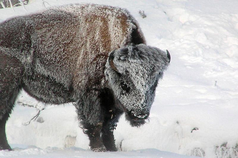 Bison- hopefully waiting it out 'til spring