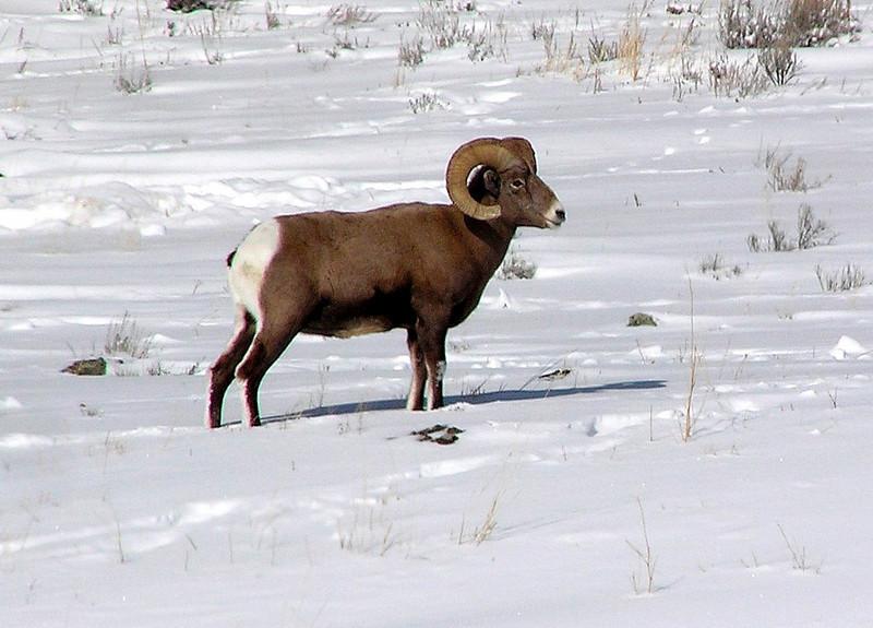 "Bighorn Sheep<div id=""caption_tourlink"" align=""right""> [photo © participant Bill Denton]</div>"
