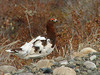"Willow Ptarmigan at Shingle Point <div id=""caption_tourlink"" align=""right""> [photo © participant Pat Newman]</div>"