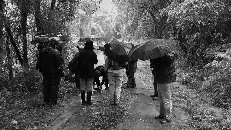 Must-do Birding Rituals I: Pay our dues in the rain, building up birding credit for some spectacular endemics to come. Photo by guide Bret Whitney on Spectacular Southeast Brazil.