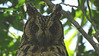 Seeing a ridiculously cooperative adult Madagascar Long-eared Owl was an exceptional treat. Photo by guide Phil Gregory.