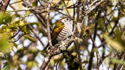 The iridescence on the coverts and scapulars of this Shining Bronze-Cuckoo is captured nicely in this image from participant Gregg Recer.