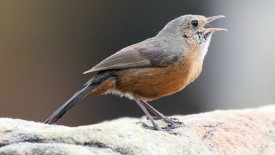 We shared some images in last month's gallery from our Australia - Part One tour, but fantastic images keep coming in so we thought we'd share a few more. The Rockwarbler has one of the smallest ranges of Australia's numerous endemics. Photo by participant Bill Byers.