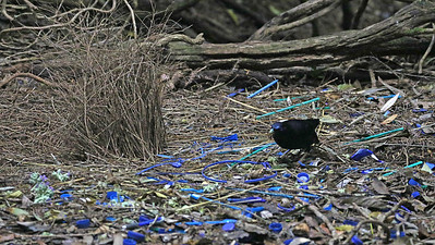 Hmmm... any idea what color Satin Bowerbirds prefer? Photo by participant Charlotte Byers.