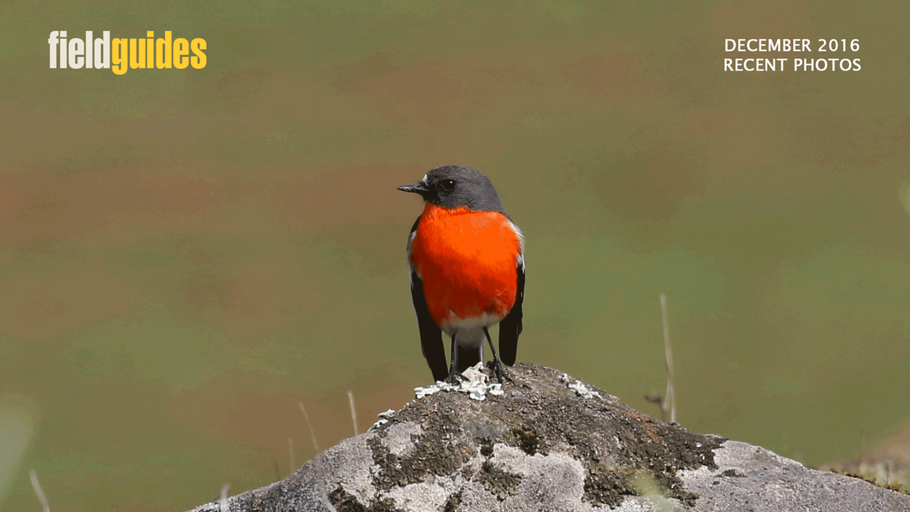 This remarkable burst of color is a Flame Robin. It kicks off this month's gallery, starting with several tours Down Under. Guide Chris Benesh shared this image from our fall Australia - Part Two tour.