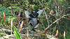 Southwestward from Sri Lanka, we showcase another special island tour: Madagascar. This patchwork primate is an Indri -- the largest lemur in the world and fine songster. Photo by guide Phil Gregory.