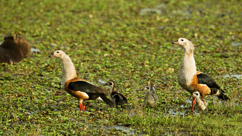 Did you notice the Capybara to the left of this Orinoco Goose family?  Photo by Andres Trujillo.