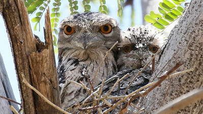 We enjoyed point-blank views of this Tawny Frogmouth nest. Photo by participant Bill Byers.