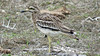 This Indian Thick-knee appears only half awake, which makes sense for a chiefly nocturnal species. Photo by participant Merrill Lester.