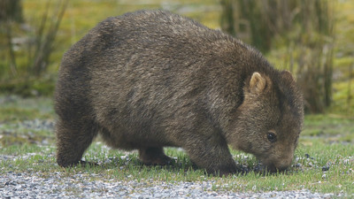 Aaaahh... Common Wombat has to be one of the most strangely adorable mammals anywhere. Photo by guide Cory Gregory.